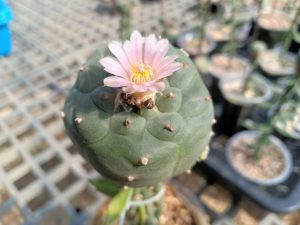 peyote crafte in bloom
