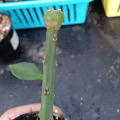 Pereskiopsis spathulata-10 cm rooted Graft Stock