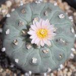 Lophophora williamsii variety texensis peyote seeds