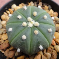 Astrophytum Asterias Nudum- 5cm diameter cactus