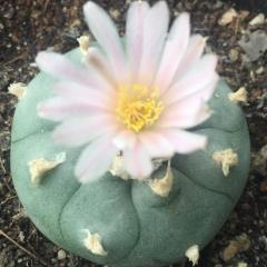lophophora williamsii variety Coahuila Cuatrocienegas peyote seeds