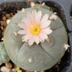 Lophophora williamsii Sierra De La Paila (Las Coloradas Coahuila) peyote seeds
