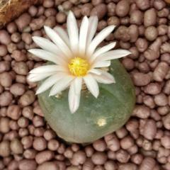 lophophora alberto-vojtechii KSM 762 San Luis Potosi peyote seeds