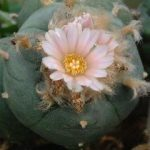 Lophophora williamsii variety La Cardona peyote seeds