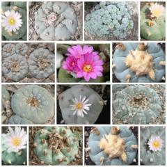 lophophora williamsii 2 different varieties peyote seeds