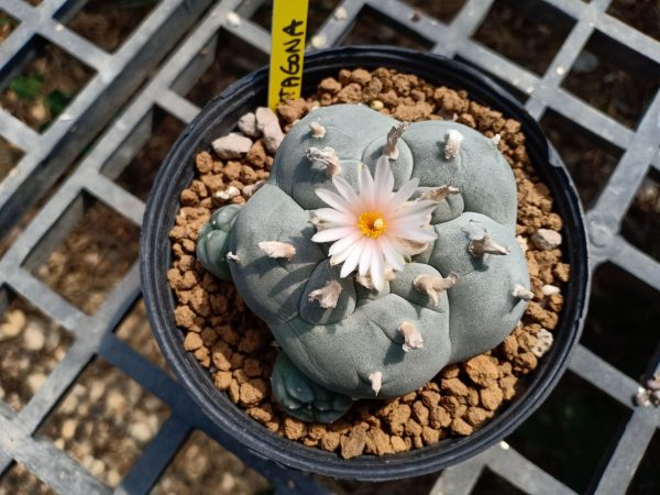 Lophophora williamsii variety Pentagona