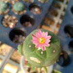 Lophophora Fricii variety Yatagai